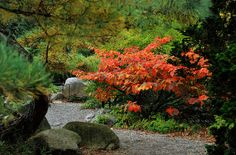 Witch Hazel tree 'Jelena' in fall color