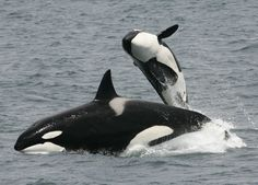 Killer whales are one of only three species able to continue living long after they have stopped reproducing. This allows mothers to spend the rest of their life looking after their offspring.