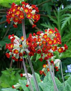 Primula veris 'Sunset Shades'  ---- Yellow to terracotta to scarlet tones. One of the more perennial and unfussy.primroses. Native to moist but well-drained soil in dappled woodlands. Charming in spring with yellow columbine & blue forget-me-nots. z. 4-8