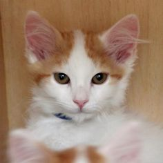 Lon is a curious kitten who is available for adoption at our Mission campus!