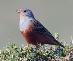 Cretzschmar's Bunting - The Cretzschmar's bunting is a passerine bird in the bunting family Emberizidae, a group now separated by most modern authors from the finches, Fringillidae.