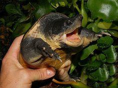 Chiapas Giant Musk Turtle, Staurotypus salvinii