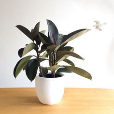 "How to choose the perfect plant for your home interior: Rubber Plant ""The robust and glossy leaves of the 'Ficus Elastica' make for one bold indoor plant. With a slightly masculine feel and a propensity to grow rather large without much effort, a big open warehouse space can be the perfect home for the Rubber plant. This fig is super low maintenance requiring watering just once a week and a spot with bright indirect light."""