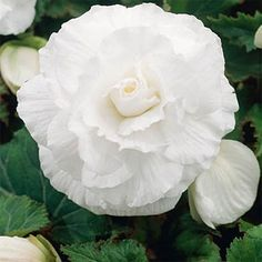 Begonia Tuberosa Double White seeds. Can start very early with a glass or plastic covering.