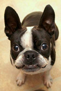 Smiling Boston Terrier!