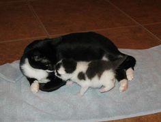 cute foster kitten Panda meets Fig