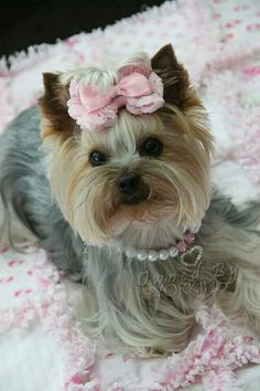 Corinne Marie Yorky Terrier, Yorshire Terrier, Baby Yorkie, Yorkie Puppy, Most Beautiful Dogs, Animals Beautiful, Yorkie Hairstyles, Pet Dogs, Dog Cat