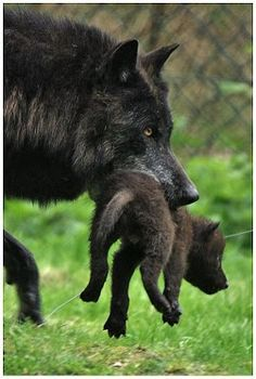 Black wolf carrying her young one. She has that protective mother look in her eye and posture. I love it. :)