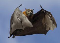phototoartguy:  Grey-Headed Flying Fox by brie321 on Flickr.
