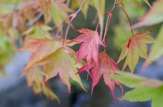 Acer Palmatum 'Murasaki Kiyohime', a dwarf variety with light green leaves and red margins in spring. Photo by Paul Behrens via Flickr