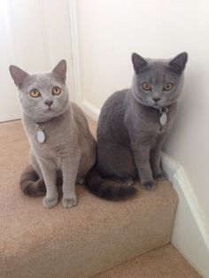 Archie and Charlie. Lilac and Blue British shorthair kittens