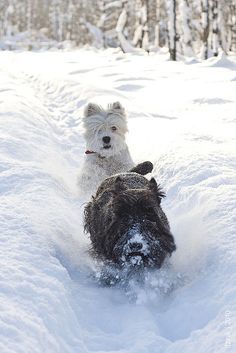 A westie and scottie on the run