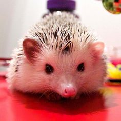I am a very serious hedgie.