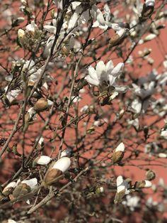 Oslo, Torshov Oslo, Magnolia, Plants, Magnolias, Plant, Planets