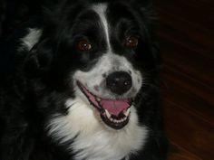 Sydney 10 years old. Black Bi Australian Shepherd