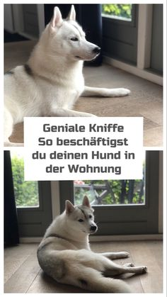The best indoor activities with dogs * advertising - Die Besten Indoor Beschäftigungen mit Hund *Werbung Put an end to it, so you can keep your dog busy indoors Animals And Pets, Funny Animals, Pet Dogs, Dog Cat, French Bulldog Puppies, Indoor Activities, Pit Bull, Dog Training Tips, Dog Owners