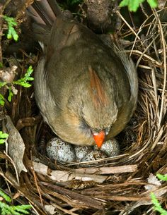 Cardinal female with her eggs