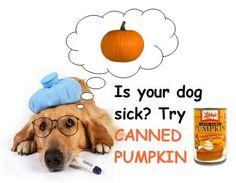 Does your Fur Baby have Diarrhea? Or Upset Stomach? Grab a can of PURE (No spices added) canned pumpkin! I have been doing this for years! Pumpkins are VERY rich in fiber, along with M… ache food upset upset health upset remedies ache Canned Pumpkin For Dogs, Dog Pumpkin, Pumpkin Dog Treats, Sick Puppies, Puppies And Kitties, Doggies, Dog Upset Stomach Remedies, Dog Constipation Remedies, Dog Has Diarrhea