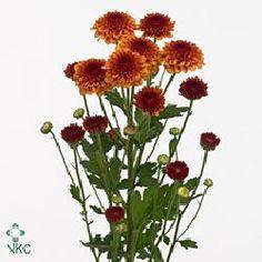 Chrysanthemums Santini Edvaldo