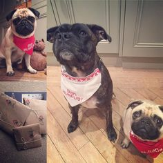 Secret Santa prezzies have arrived say Brian & Mabel.. How lucky are we with our @bourne_wild_petwear bah humbug bandanas & treats.. Thank you secret Santa whoever you maybe @alphie.and.teddy.pug .......... #BeOnCanadianPugs #pug #lacyandpaws #speakpug speakpug#pugsofinstagram #pugs #pugsproud_feature #dogs #pugloversclub #puggod #cutepugsonly #cutepugs #srslycute #dailypugs #dog #feature_do2 #dogsofinstagram #pugmob #pugnation #zerozeropug #puglove #smilingpugs #pugrequest…