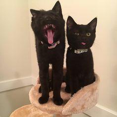 A yawn and blep. http://ift.tt/2pbb6bm
