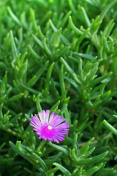 trailing ice plant - planted these last year.