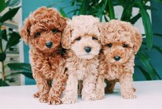 Cockapoo puppies - beautiful, animals et dogs image sur We Heart It Chien Goldendoodle, Cockapoo Puppies, Toy Poodle Puppies, Toy Poodles, Toy Poodle Red, Toy Labradoodle, Teddy Bear Puppies, Maltese Dogs, Labradoodle Chocolate