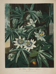 temple-fleur-illustration-Robert-Thornton-15