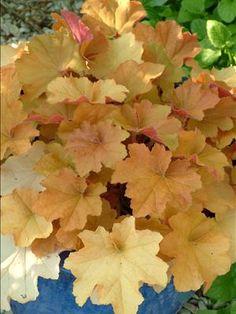 Heuchera 'Caramel' | Walters Gardens, Inc.