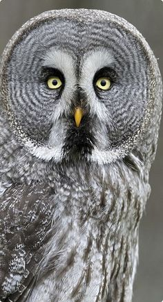 The Great Grey Owl or Great Gray Owl (Strix nebulosa) is a very large owl, documented as the world's largest species of owl, they are distributed across the Northern Hemisphere. In some areas it is also called Phantom of the North.