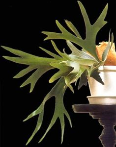 Esta planta es epífita, es decir, se aloja y vive en las ramas o en los troncos de los árboles, pero sin parasitarlos. Sus raíces se extien...