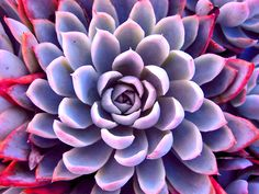 Grey & Pink Succulent by Susan Brown via redbubble.