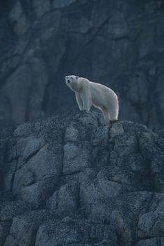 photography/Polar_bear_spitzbergen