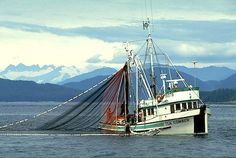 Seining for pink salmon