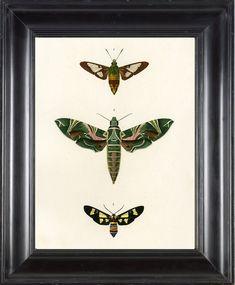 BUTTERFLY PRINT D'Orbigny 8x10 Botanical Art door FleurDeNature, $8,00