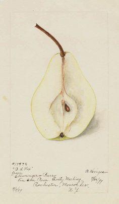fox1.jpg (513×879) Artist: Bertha Heiges. From Ellwanger & Barry via American Pomology Society Meeting, Rochester, Monroe Co., New York, September 9, 1899.