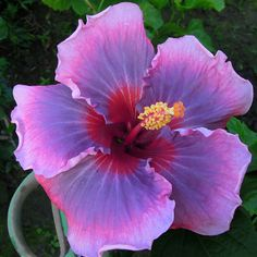 Taiwan Dream Flying Hibiscus Flowers, Tropical Flowers, Small Trees, Natural Wonders, Green Leaves, Shrubs, Flower Art, Planting Flowers, Orchids