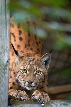 Ma lynx sharping her claws