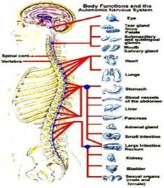 Spojitost mezi páteří a vnitřními orgány :: masaze. Radiculopathy, Vagus Nerve, Spinal Cord, Lifestyle Changes, Health Fitness, Goju Ryu, Detox, Alternative, Medical