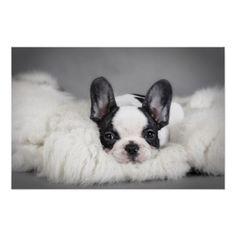 Frenchie - French bulldog puppy