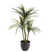 Yucca Red Edge Tree in Pot