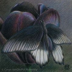 """BLACK in """"Camouflage (Neutral Colors)"""" Series by CaryeVDPMahoney • Black Great Mormon Butterfly on a Queen of the Night Tulip • #art #butterfly #flower #nature #dark #mysterious #goth"""