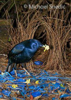 Satin Bowerbird displaying  (photo by Michael Snedic)