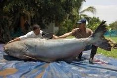 At this Mekong Giant Catfish is the largest freshwater fish in the world. With nearly nine feet long meters) and as big as a grizzly bear this huge catfish caught in northern Thailand may be the largest freshwater fish ever recorded by miguel Giant Animals, Large Animals, Stuffed Animals, Worlds Biggest Dog, World's Biggest, Giant Fish, Big Fish, River Monsters, Chub Rub