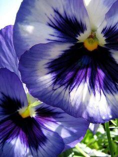 Purple Pansy Faces