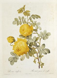 Rosa Sulfurea Drawing by Pierre Redoute - Rosa Sulfurea Fine Art Prints and Posters for Sale