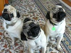 What Kind Of Dog Are You? I got the pug! I guess this explains why I love pugs so much!!!!!!! :)