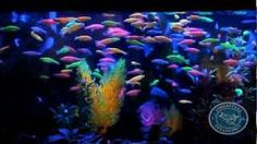 Fincasters video on GloFish