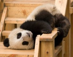 Another silly Panda pose. Cute Baby Animals, Animals And Pets, Funny Animals, Baby Pandas, Giant Pandas, Wild Animals, Panda Bebe, Cute Panda, Animal Pictures