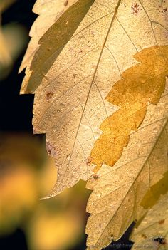 Translucent #1 - Back-lit Cottonwood leaf in the Wasatch Mountains, Utah.